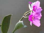 2015植物攝影1B:紫苞舌蘭(紫蘭) (@台北公館國小) (1).JPG