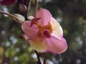 2015植物攝影1B:嘉多利亞蘭(加多利亞蘭) (@台北公館國小) (6).JPG
