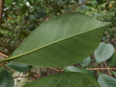 2015植物攝影11A:草莓番石榴(Psidium cattleianum) (@台北植物園) (5).JPG