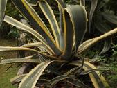 2015植物攝影11A:黃邊龍舌蘭(Agave americana 'Variegata') (@台北植物園) (3).JPG
