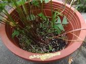 2015植物攝影11A:白花酢醬草(Oxalis triangularis ssp. papilionacea) (@台灣大學) (3).JPG