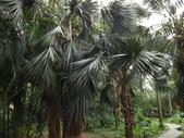 2015植物攝影11A:龍鱗櫚(Sabal palmetto Lodd) (@台北植物園) (1).JPG