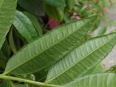 2015植物攝影11A:莎梨橄欖 (@台北建國花市) (6).JPG