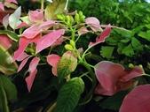 2015植物攝影11A:桃莉聖誕紅 (@台北建國花市) (1).jpg