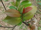 2015植物攝影11A:森氏紅淡比(森氏楊桐)(Cleyera japonica Thunb. var. morii (Yamamoto) Masamune) (@台北植物園) (6).JPG