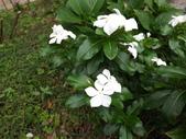 2015植物攝影11A:日日春(白花品種) (@台灣大學) (4).JPG