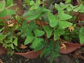 2015植物攝影11A:白花酢醬草(Oxalis triangularis ssp. papilionacea) (@台灣大學) (6).JPG
