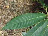 2015植物攝影11A:蘭嶼肉豆蔻(Myristica ceylanica A. DC. var. cagayanensis (Merr.) J. Sinclair) (@台北植物園) (6).JPG
