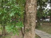 2015植物攝影11A:大葉楠(Machilus kusanoi Hayata) (@台北植物園) (1).JPG