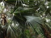 2015植物攝影11A:龍鱗櫚(Sabal palmetto Lodd) (@台北植物園) (7).JPG