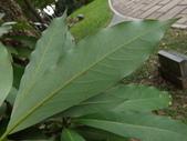 2015植物攝影11A:大葉楠(Machilus kusanoi Hayata) (@台北植物園) (4).JPG