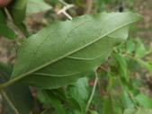 2015植物攝影11A:小葉朴(Celtis nervosa Hemsl.) (@台北植物園) (6).JPG