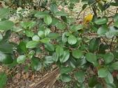 2015植物攝影11A:草莓番石榴(Psidium cattleianum) (@台北植物園) (7).JPG