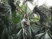 2015植物攝影11A:龍鱗櫚(Sabal palmetto Lodd) (@台北植物園) (4).JPG