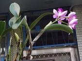 2015植物攝影1B:紫苞舌蘭(紫蘭) (@台北公館國小) (5).JPG