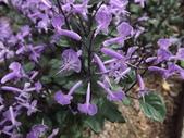 2015植物攝影11A:紫鳳凰 (@台灣大學) (1).JPG