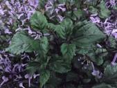 2015植物攝影11A:紫鳳凰 (@台灣大學) (3).JPG