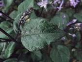 2015植物攝影11A:紫鳳凰 (@台灣大學) (2).JPG