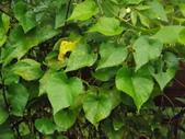 2015植物攝影11A:銳葉牽牛(Ipomoea indica (Burm. f.) Merr.) (@台北植物園) (3).JPG