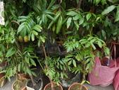 2015植物攝影11A:莎梨橄欖 (@台北建國花市) (4).JPG