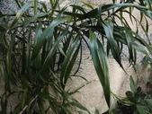 2015補充植物:番仔林投 (@台北公館國小) (4).JPG