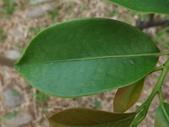 2015植物攝影11A:森氏紅淡比(森氏楊桐)(Cleyera japonica Thunb. var. morii (Yamamoto) Masamune) (@台北植物園) (4).JPG