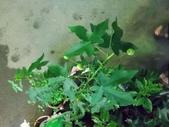 2015植物攝影11A:風鈴花(燈籠花) (@台北建國花市) (4).jpg