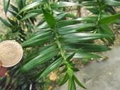 2015植物攝影11A:廣葉南洋杉(Araucaria bidwillii) (@台北植物園) (5).JPG
