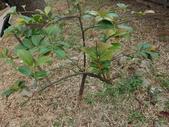 2015植物攝影11A:森氏紅淡比(森氏楊桐)(Cleyera japonica Thunb. var. morii (Yamamoto) Masamune) (@台北植物園) (3).JPG