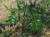 2015植物攝影11A:廣葉南洋杉(Araucaria bidwillii) (@台北植物園) (3).JPG