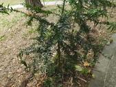 2015植物攝影11A:廣葉南洋杉(Araucaria bidwillii) (@台北植物園) (4).JPG