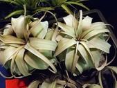 2015植物攝影11A:空氣鳳梨(品系名為法官頭) (@台北建國花市) (4).jpg