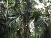 2015植物攝影11A:龍鱗櫚(Sabal palmetto Lodd) (@台北植物園) (2).JPG