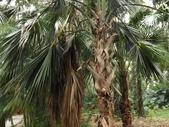 2015植物攝影11A:龍鱗櫚(Sabal palmetto Lodd) (@台北植物園) (6).JPG