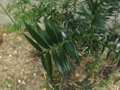 2015植物攝影11A:廣葉南洋杉(Araucaria bidwillii) (@台北植物園) (1).JPG
