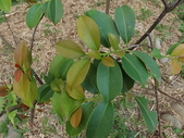2015植物攝影11A:森氏紅淡比(森氏楊桐)(Cleyera japonica Thunb. var. morii (Yamamoto) Masamune) (@台北植物園) (2).JPG