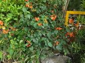 2015植物攝影11A:洋傘花 (@台北建國花市) (6).JPG