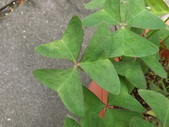 2015植物攝影11A:白花酢醬草(Oxalis triangularis ssp. papilionacea) (@台灣大學) (2).JPG