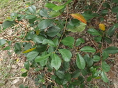 2015植物攝影11A:草莓番石榴(Psidium cattleianum) (@台北植物園) (4).JPG