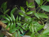 2015植物攝影11A:莎梨橄欖 (@台北建國花市) (3).JPG