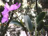 2015植物攝影1B:紫苞舌蘭(紫蘭) (@台北公館國小) (4).JPG