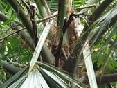 2015植物攝影11A:龍鱗櫚(Sabal palmetto Lodd) (@台北植物園) (3).JPG
