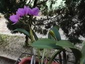 2015植物攝影1B:紫苞舌蘭(紫蘭) (@台北公館國小) (6).JPG