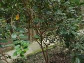 2015植物攝影11A:草莓番石榴(Psidium cattleianum) (@台北植物園) (1).JPG