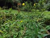 2015植物攝影11A:兔兒菜(兔仔菜)(Ixeris chinensis (Thunb.) Nakai) (@台北植物園) (1).JPG