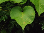 2015植物攝影11A:銳葉牽牛(Ipomoea indica (Burm. f.) Merr.) (@台北植物園) (5).JPG