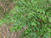 2015植物攝影11A:小葉朴(Celtis nervosa Hemsl.) (@台北植物園) (5).JPG