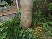 2015植物攝影11A:酒瓶椰子 (@台灣大學) (104.10.21拍攝) (3).JPG