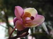 2015植物攝影1B:嘉多利亞蘭(加多利亞蘭) (@台北公館國小) (4).JPG