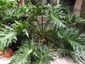 2015植物攝影11A:羽裂蔓綠絨(羽裂葉蔓綠絨) [Philodenron selloum Koch] (@台灣大學) (1).JPG